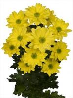 Хризантема кустовая 1