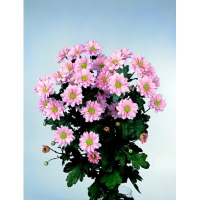 Хризантема кустовая 2