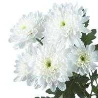 Хризантема кустовая 3
